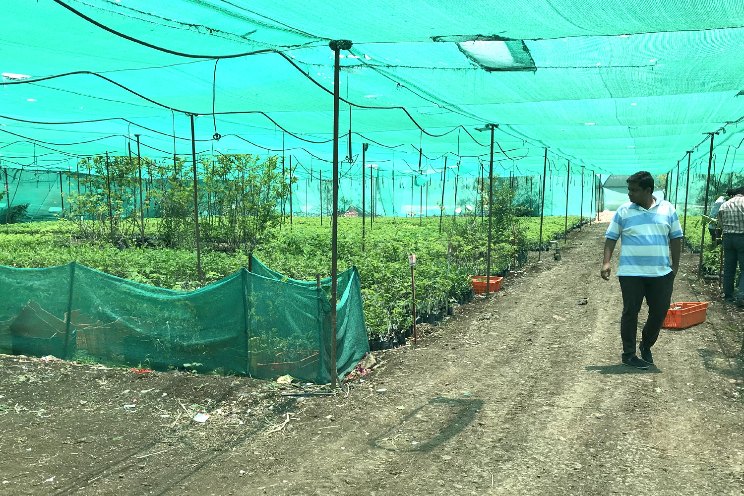 Visit to custard apple nursery in Maharashtra