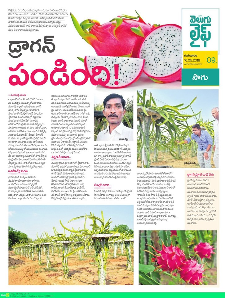 Our largest dragon-fruit farm story in Velugu newspaper