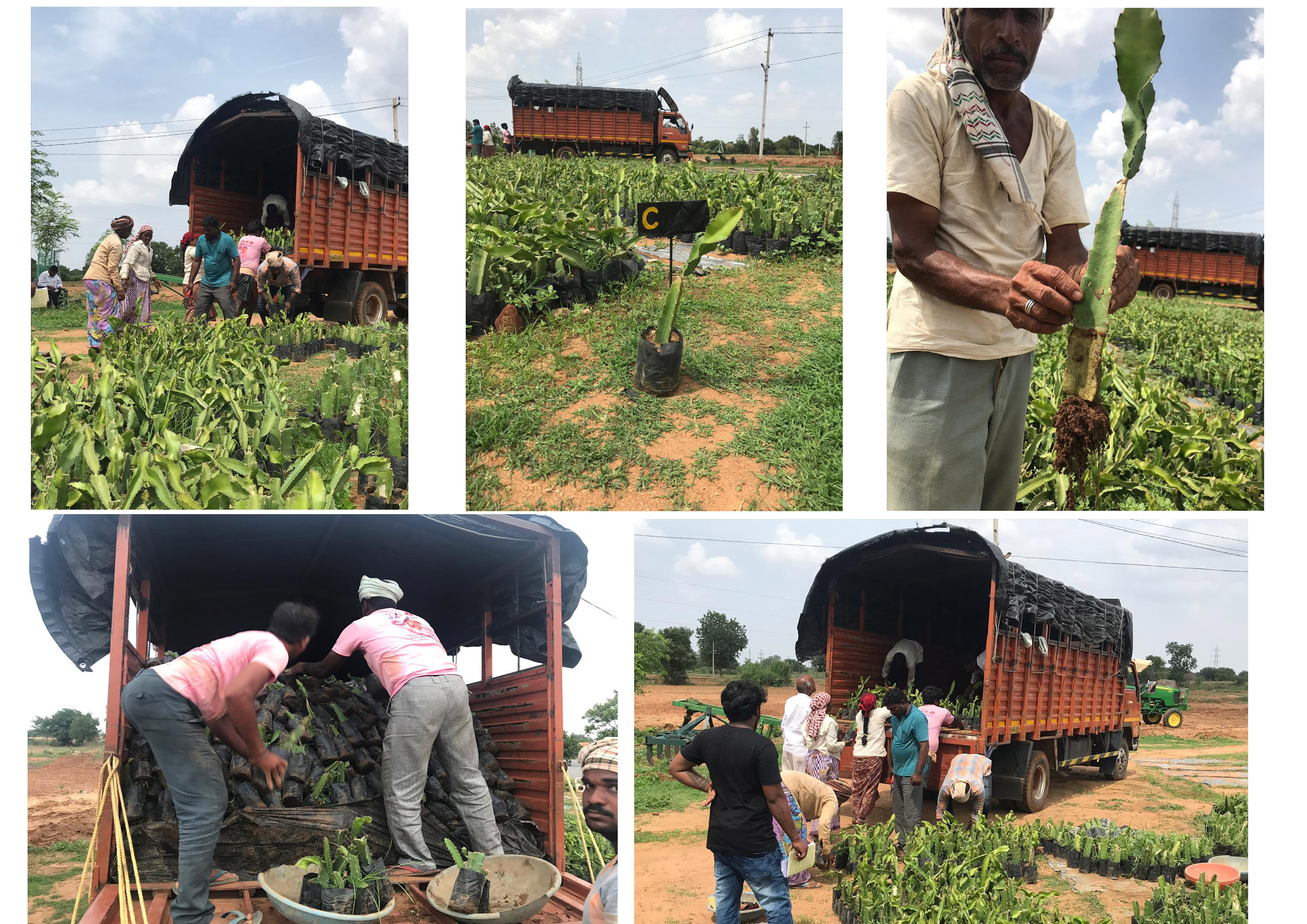 Successfully delivered 6000 plants of our hybrid variety -C (red pulp) to farmer.
